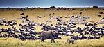 African bush elephant (Loxodonta africana) and calf, blue wildebeest (Connochaetes taurinus), plains zebra (Equus quagga), Maasai Mara National Reserve, Kenya<br /> <br /> Canon EOS-1D X Mark II, EF800mm f/5.6L IS USM lens, f/7.1 for 1/3200 second, ISO 2000