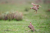 572110175 two wild male lesser prairie chicken tympanuchus pallidicinctus engage in breeding displays and threat challenges on a lek on a ranch near canadian texas united states