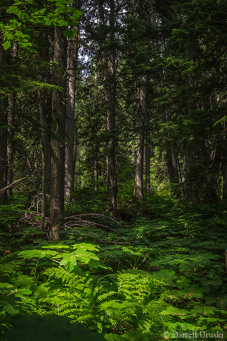 Landscape Art Scenic photograph of forest of  giant cedar trees growing amongst the lush forest floor that is  located high up in the mountains near the city of Revelstoke, in British Columbia, Canada. <br /> The warm rays of the sun shone filtered shafts of lights through the leaves of the trees onto the lush forest valley floor.