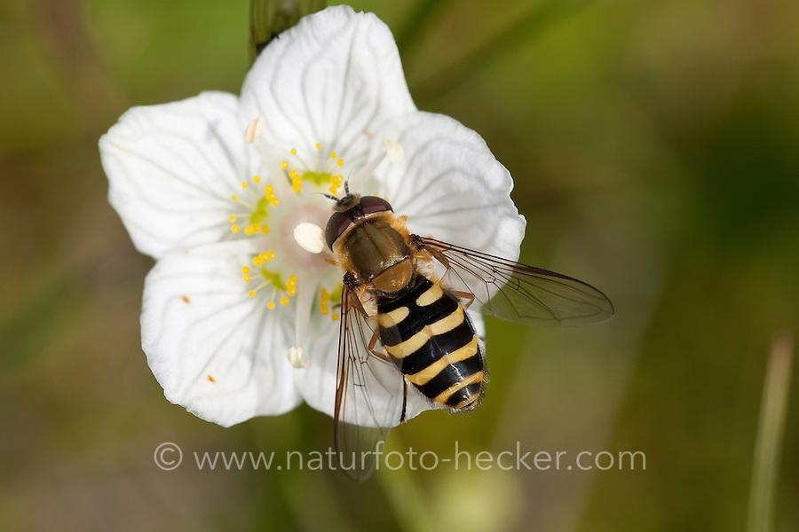 Behaarte Schwebfliege, Blütenbesuch, Nektarsuche, Bestäubung, Blütenökologie, Syrphus torvus, hoverfly, hover fly, syrphid fly, flower fly, hoverflies, hover flies, syrphid flies, flower flies