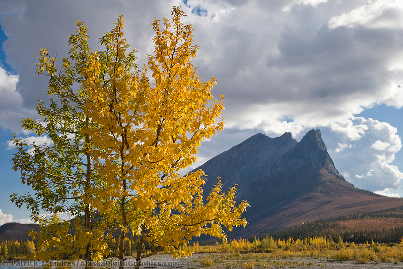 Balsam poplar trees and mount Sukakpak, Brooks Range, Alaska.