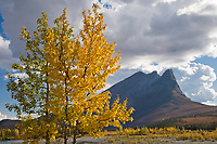 Balsam poplar trees and mount Sukakpak, Brooks Range, Alaska.