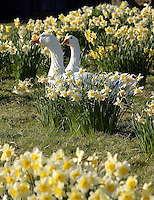 Daffodils and geese.