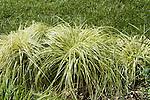 CAREX HACHIJOENSIS, EVERGOLD SEDGE GRASS
