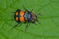 Schwarzhörniger Totengräber, Schwarzfühleriger Totengräber, Waldtotengräber, Aaskäfer, Necrophorus vespilloides, Nicrophorus vespilloides, burying beetle