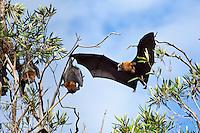 GreyHeaded Flying Fox, Sydney, Australia