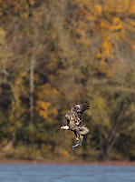 Bald Eagle in flight with wings aloft with fish with fall colors in background