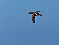 Common Murre, the Bridled Morph in North Atlantic, in flight at sea
