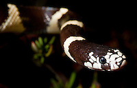 Lampropeltis getula californiae.California Kingsnake..A quick drive near home results in one of my favorites. A ravenous eater of rodents and other snakes.