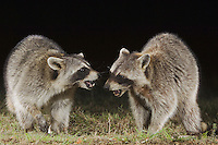 Northern Raccoon, Procyon lotor, adults fighting, Uvalde County, Hill Country, Texas, USA