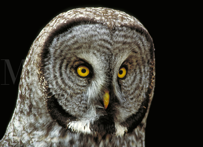 Great Gray Owl. Wyoming, Yellowstone National Park.