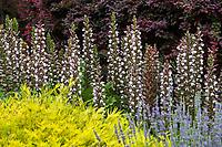 Acanthus mollis, Bear's Breeches flowering perennial in Los Angeles County Arboretum and Botanic Garden