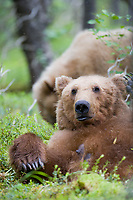 Brown bear in the forest around Katmai National park, Alaska