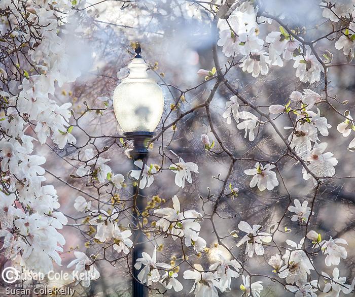 Magnolias and a lamp post in Boston Public Garden in Boston, MA, USA
