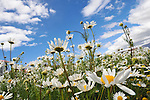 Abstract view of a field of daisies in the Patagonia region of Argentina.