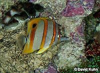 0119-08ww  Copperband Butterflyfish -Chelmon rostratus © David Kuhn/Dwight Kuhn Photography