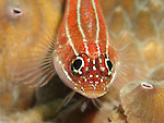 Kenting, Taiwan -- Striped triplefin on a coral.<br /> <br /> These skittish fish survey their surroundings with their rotating eyes in every direction. When danger appears, they are gone in one lightning fast motion.