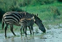 Mother zebra and foal on seasonal water stream,