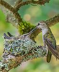 Rufous hummingbird  chick in nest, Seattle, Washington, USA