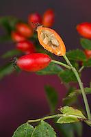 Hunds-Rose, Hundsrose, Heckenrose, Rose, Früchte, Hagebutte, Hagebutten, aufgeschnitten mit Samen, Kernen, Kerne, Rosa canina. Common Briar, Dog Rose, seed