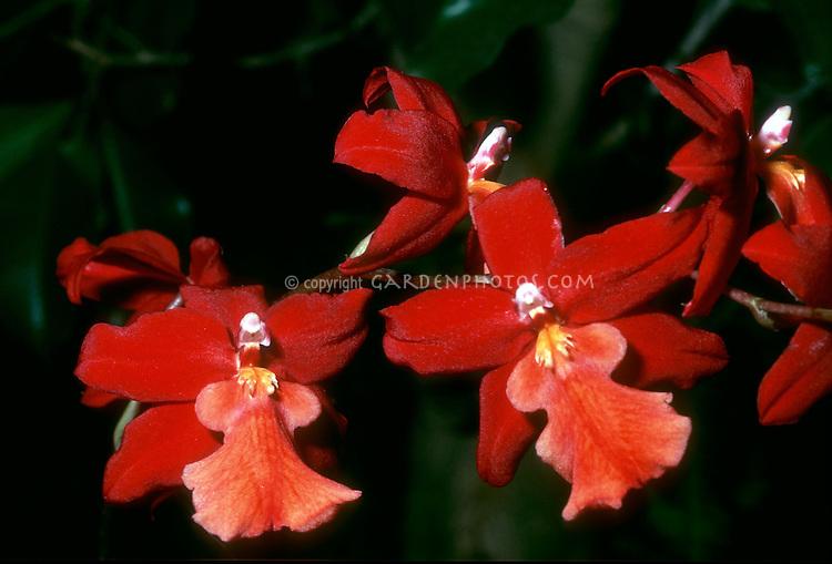 Orchids Burrageara Stefan Isler, an intergeneric hybrid in the Oncidium Alliance