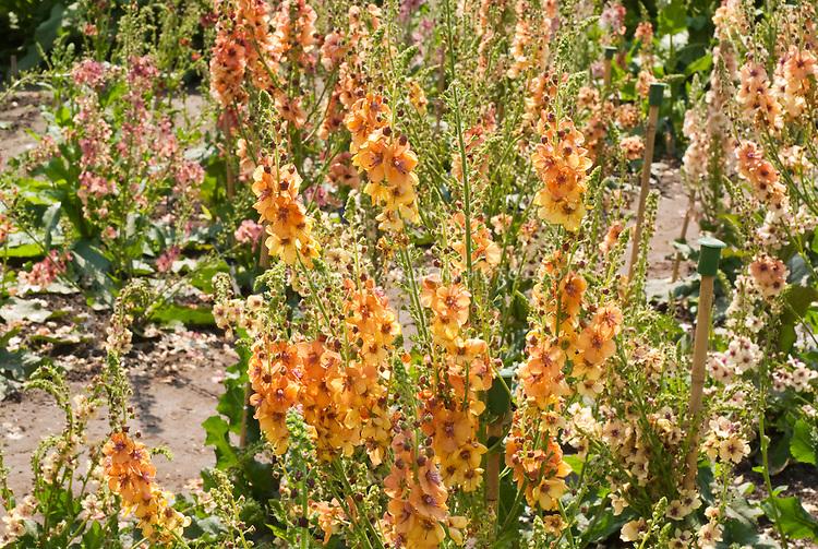 Verbascum Clementine in flower