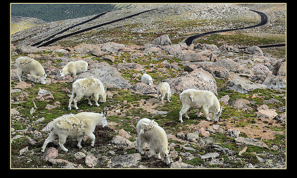 Mountain Goats graze next to the Mount Evans road, near Denver.<br /> Mt Evans wildlife tours. Colorado tours year-round. Colorado tours by Outside Imagery.