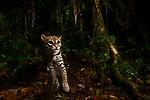 Ocelot (Leopardus pardalis) at night, Mamoni Valley, Panama