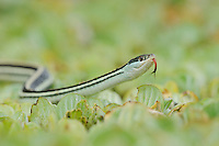Gulf Coast Ribbon Snake (Thamnophis proximus orarius), adult on water lettuce, Fennessey Ranch, Refugio, Corpus Christi, Coastal Bend, Texas Coast, USA