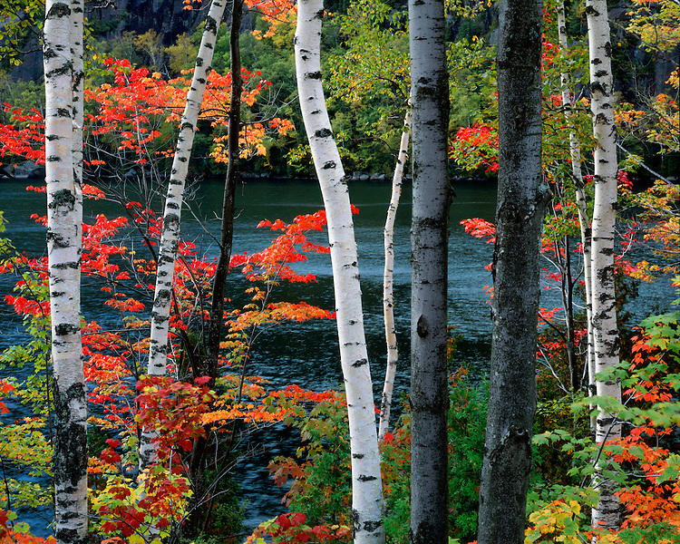 Maple trees and Birch trees along Chapel Pond in the Dix Mountain Wilderness; Adirondack Park and Preserve, NY