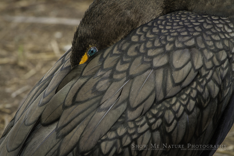 Double-crested Cormorant taking a nap