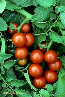 HS09-025b  Romato - cherry tomato, variety Washington cherry