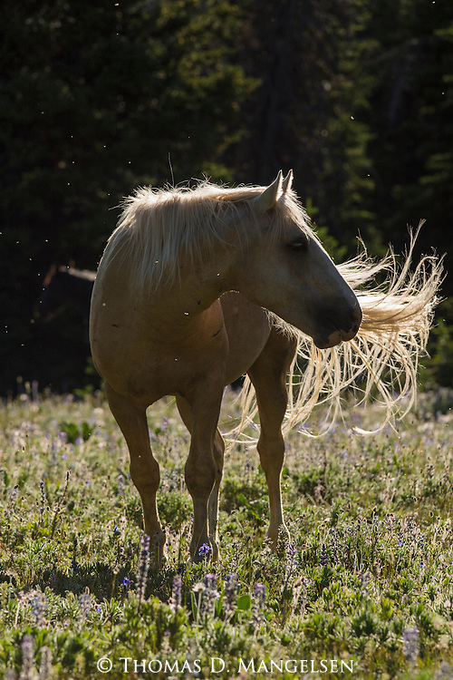 A wild horse stands in a field at sunrise in the Pryor Mountains, Montana.