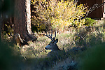 mule deer, buck, Odocoileus hemionus, October, fall, autumn, evening, urban, wildlife, Estes Park, Colorado, USA