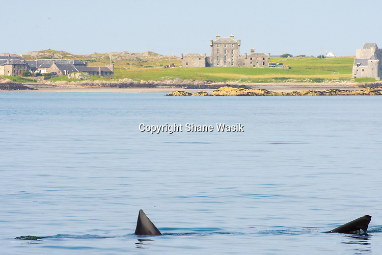 Basking Shark at Brechacha Castle, Isle of Coll