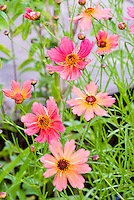 Coreopsis 'Rum Punch' Punch series