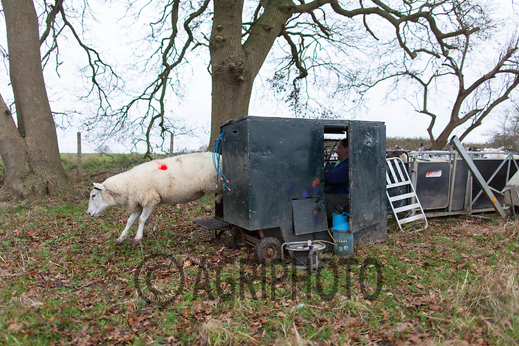 18/12/2020 Pregnancy scanning ewes<br /> ©Tim Scrivener Photographer 07850 303986<br />      ....Covering Agriculture In The UK....