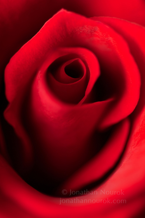 An extreme close-up of a red rose flower.