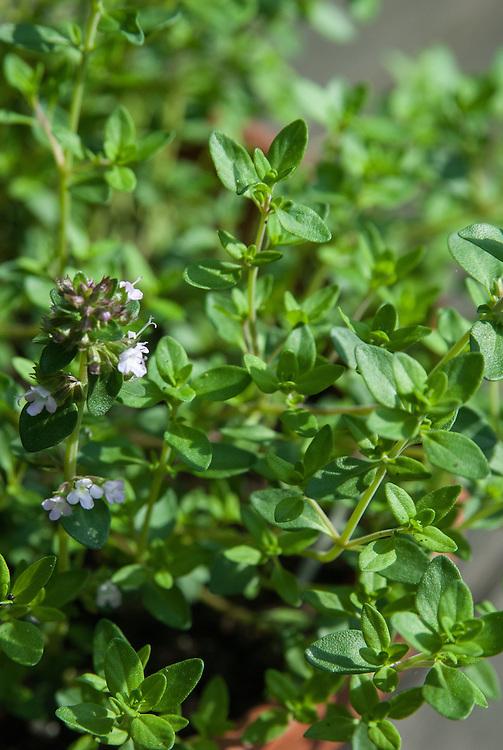 Lemon thyme (Thymus citriodorus), early June.
