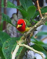 Male red-headed barbet