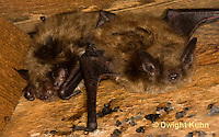 MA20-535z  Little Brown Bats, Myotis lucifugus