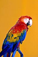 Animais. Aves. Arara-macau (Ararapiranga). Foto de Rogério Reis.