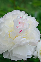 Paeonia 'Shirley Temple' (Peony)