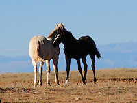 Wild colts in Montana's Pryor Mountains engage in some mutual grooming activities.