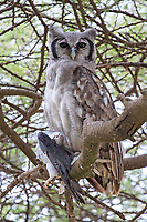 We found a surprising number of Verreaux's eagle-owls in Ndutu. However, most of them were fairly shy. This one was an exception, having killed a Black-winged kite that made the mistake of landing in its tree.