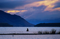Brown bear fishes in Naknek Lake, Katmai National Park, Alaska