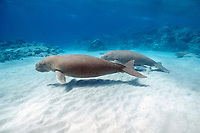 dugongs or sea cows, Dugong dugon, swim across a sand patch, Indo-Pacific Ocean