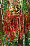 9452-CP King Palm, Archontophoenix cunninghamiana, fruit clusters