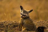 Cute bat-eared fox portrait with blurred yellow savanna grass background in Masai Mara national park, at the border of Kenya and Tanzania, Africa