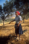 Crete, Greece, Olive tree nets laid for harvest, Vizari, Maria, Vlastos Farma, .